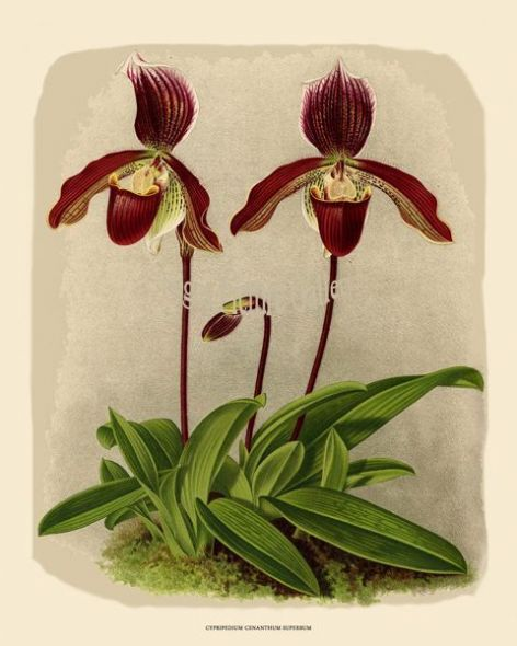 Fine art print of the Orchid Cypripedium Cenanthum Superbum by John Nugent Fitch